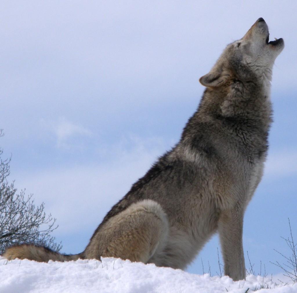 wolven bij elkaar