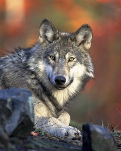 480px-Canis_lupus_laying[1]