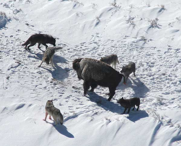 Canis_lupus_pack_surrounding_Bison[1]